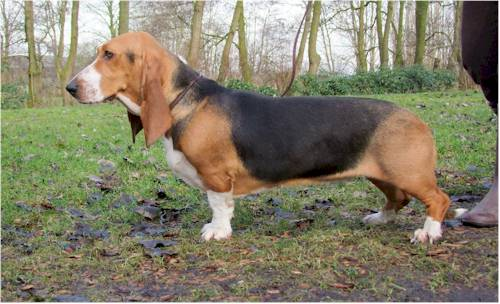 kampioen 2008 basset anina 1 Annina   Best of Breed Winner 2008